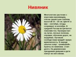 Нивяник Многолетнее растение с коротким корневищем, слегка гранистым стеблем,