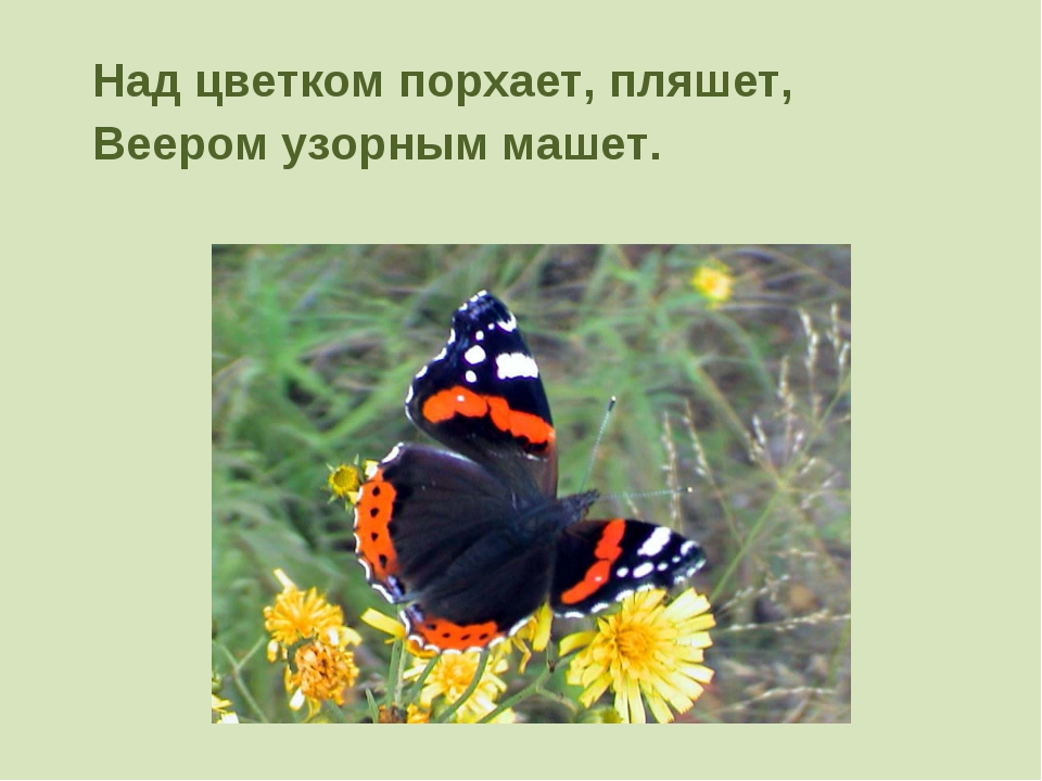 Над цветком порхает, пляшет, Веером узорным машет.