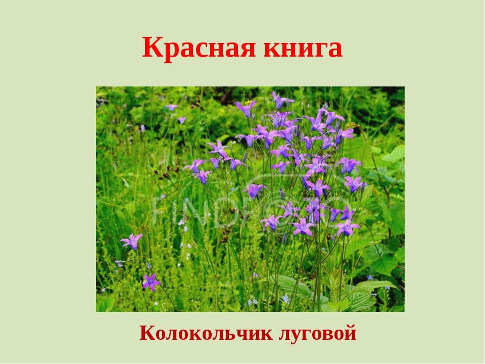 Красная книга Колокольчик луговой