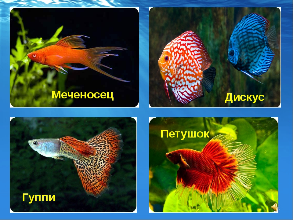 все названия аквариумных рыбок с картинками мыс