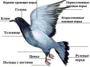 Клюв Голова Первостепенные маховые перья Второстепенные маховые перья Цевка П