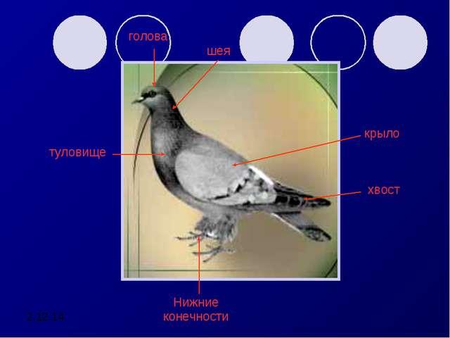 голова шея крыло туловище Нижние конечности хвост