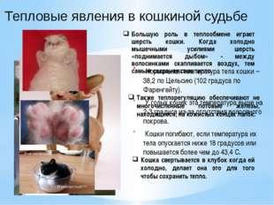 Тепловые явления в кошкиной судьбе Нормальная температура тела кошки – 38,2 п