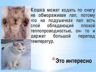 Это интересно Кошка может ходить по снегу не обмораживая лап, потому что на п
