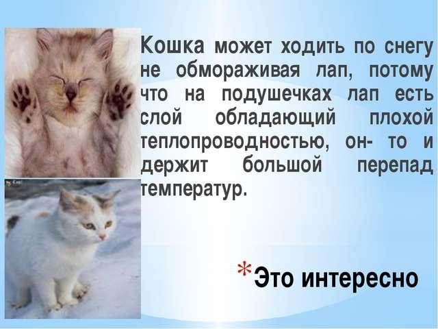 Это интересно Кошка может ходить по снегу не обмораживая лап, потому что на п...