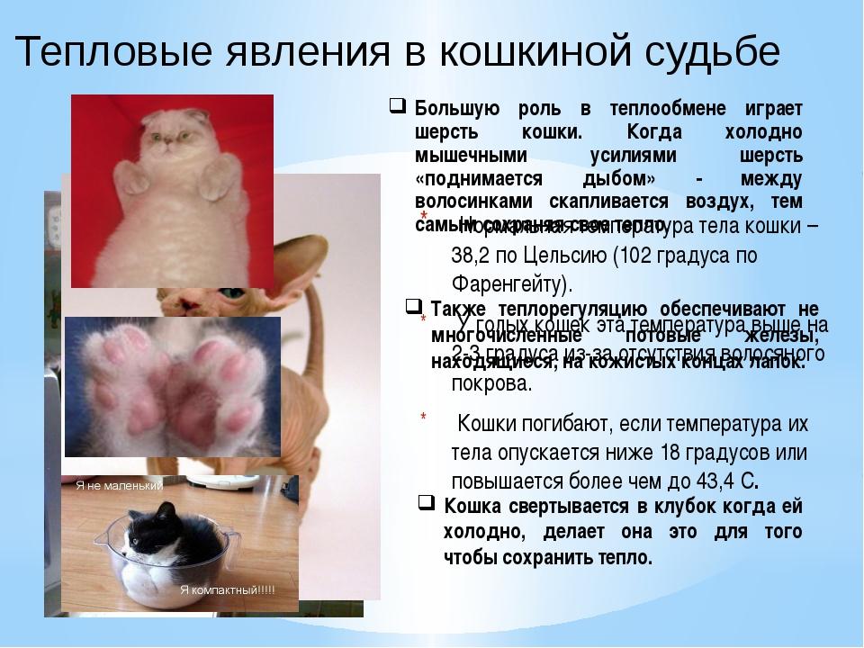 Тепловые явления в кошкиной судьбе Нормальная температура тела кошки – 38,2 п...