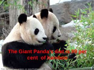 The Giant Panda's diet is 99 per cent  of bamboo