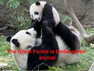 The Giant Panda is Endangered animal
