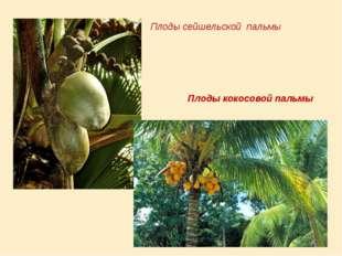 Плоды сейшельской пальмы Плоды кокосовой пальмы