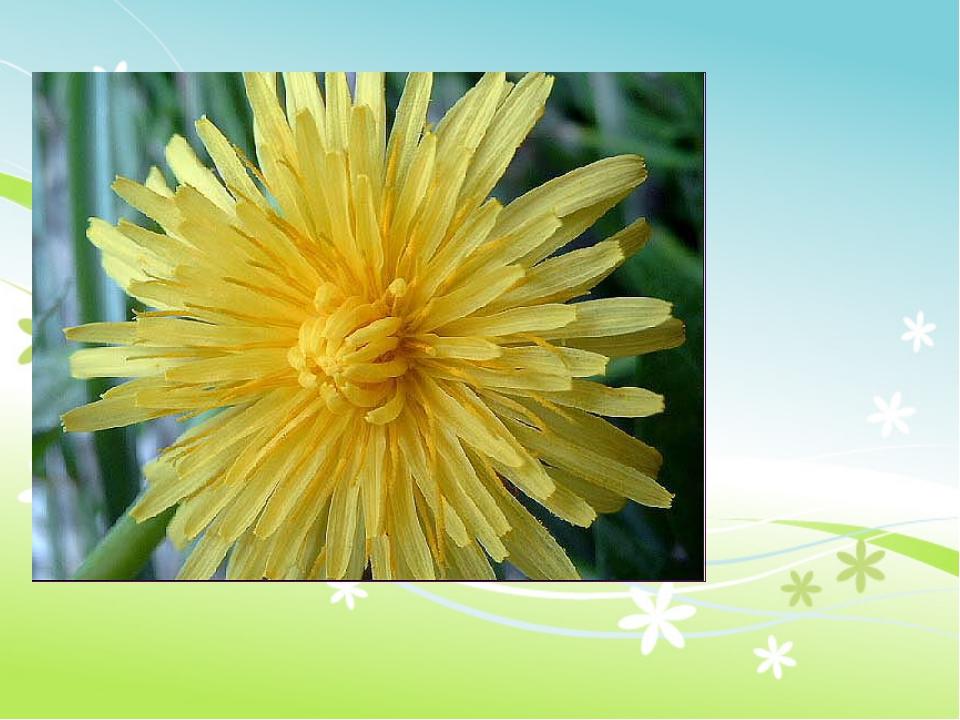 Горел в траве росистой Фонарик золотистый, Померк, потух И превратился в пух.