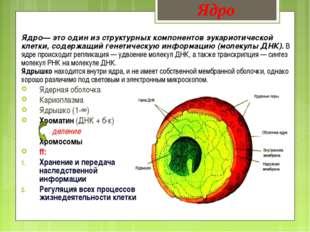 Ядро— это один из структурных компонентов эукариотической клетки, содержащий