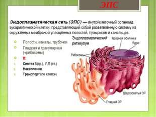 Эндоплазматическая сеть (ЭПС) — внутриклеточный органоид эукариотической клет