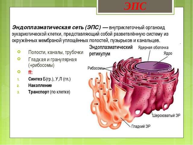 Эндоплазматическая сеть (ЭПС) — внутриклеточный органоид эукариотической клет...