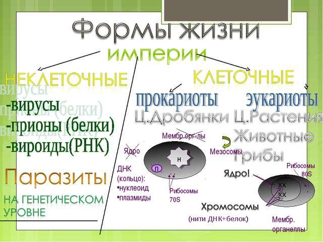 хх хх (нити ДНК+белок) Ядро Мембр.орг-лы Мезосомы ДНК (кольцо): нуклеоид плаз...