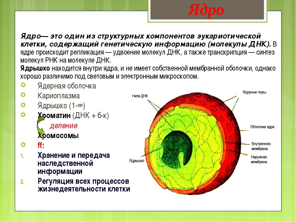 Ядро— это один из структурных компонентов эукариотической клетки, содержащий...