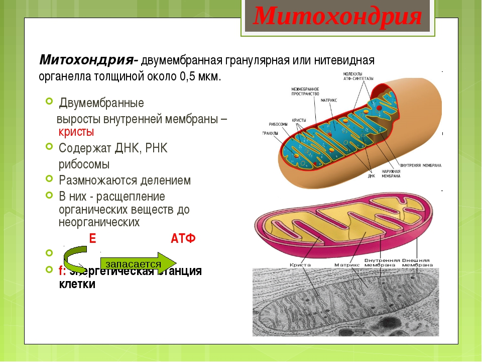 Митохондрия- двумембранная гранулярная или нитевидная органелла толщиной окол...