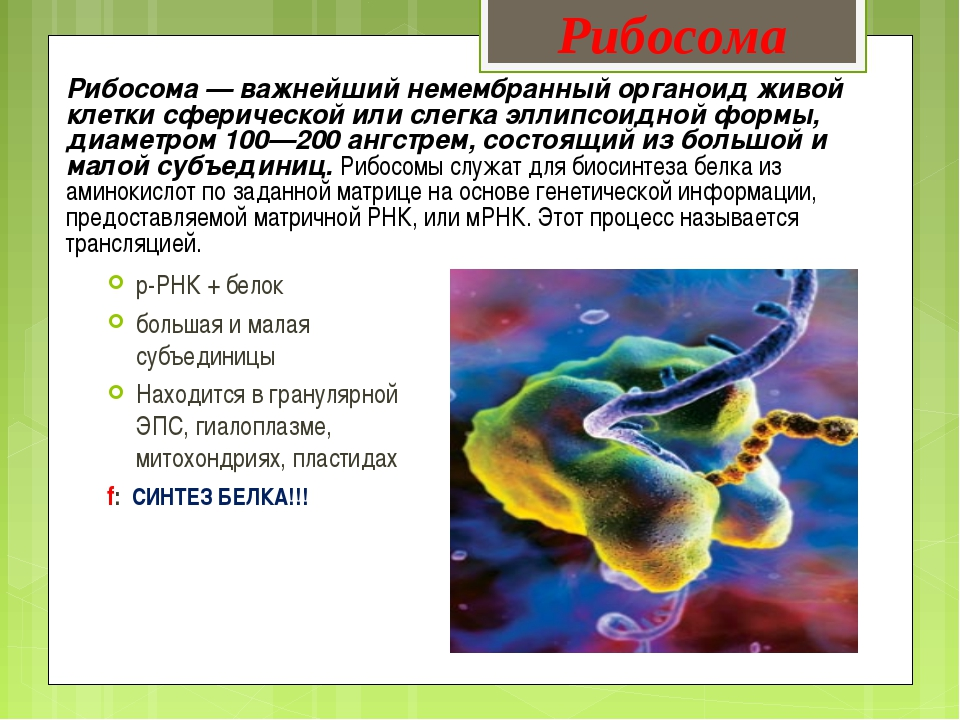 Рибосома — важнейший немембранный органоид живой клетки сферической или слегк...