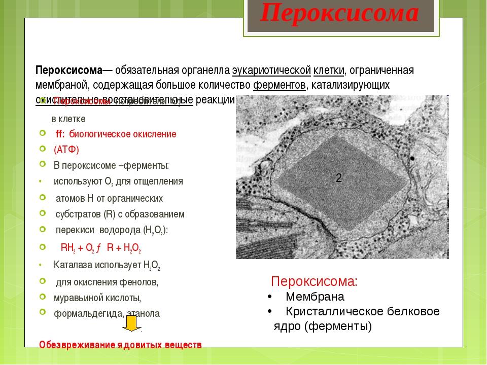 Пероксисома— обязательная органелла эукариотической клетки, ограниченная мемб...