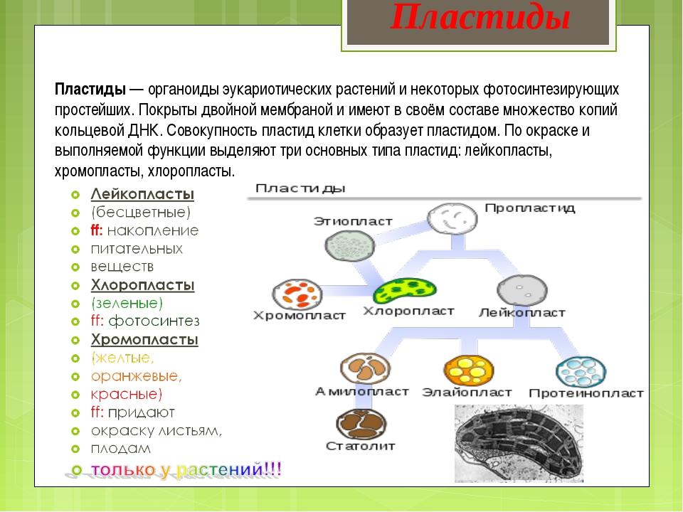 Пластиды— органоиды эукариотических растений и некоторых фотосинтезирующих п...