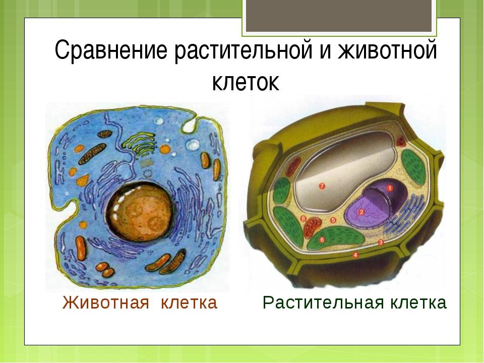 Сравнение растительной и животной клеток Животная клетка Растительная клетка