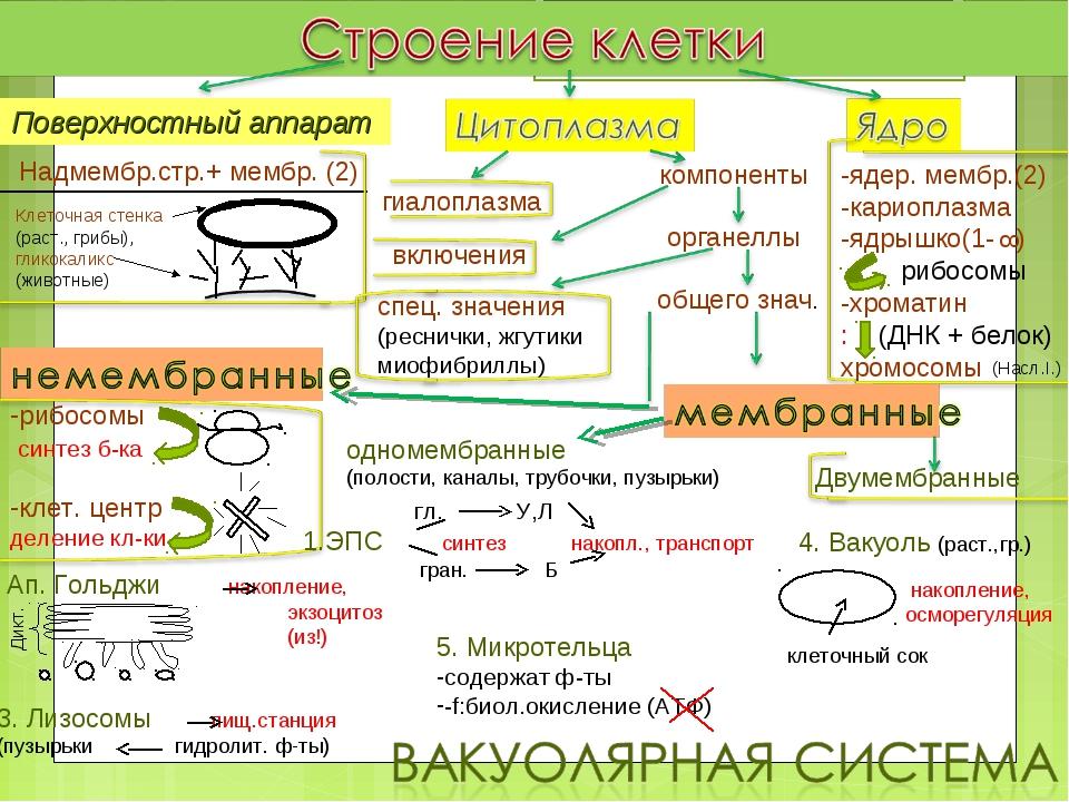 Надмембр.стр.+ мембр. (2) Клеточная стенка (раст., грибы), гликокаликс (живот...
