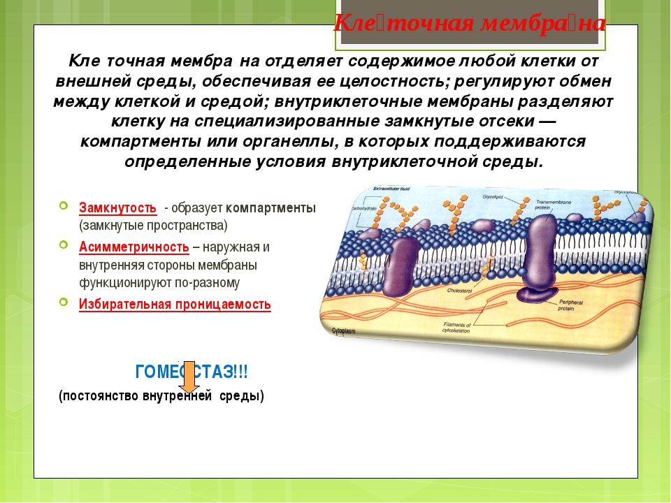 Кле́точная мембра́на отделяет содержимое любой клетки от внешней среды, обесп...