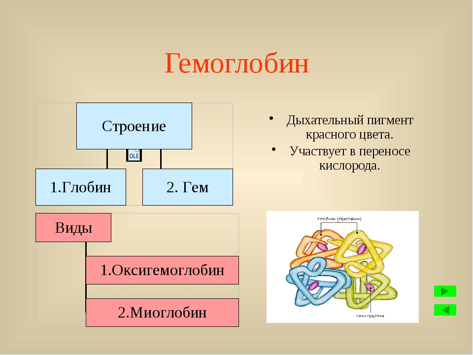 Незернистые лейкоциты. Не имеют гранул в цитоплазме. Функции: образование ант...