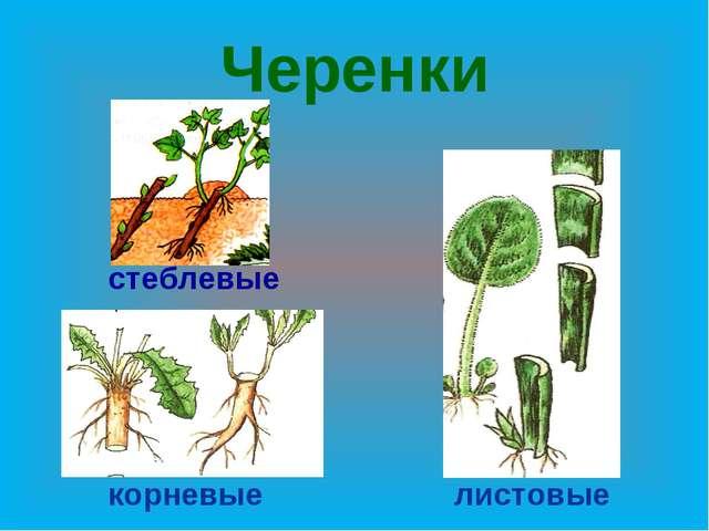 Черенки стеблевые корневые листовые