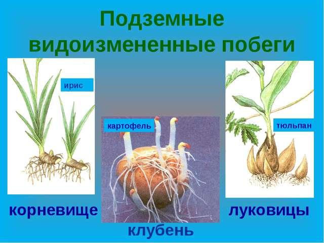 Подземные видоизмененные побеги корневище клубень луковицы ирис тюльпан карто...
