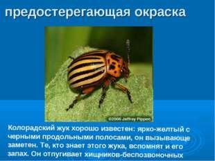 Колорадский жук хорошо известен: ярко-желтый с черными продольными полосами,