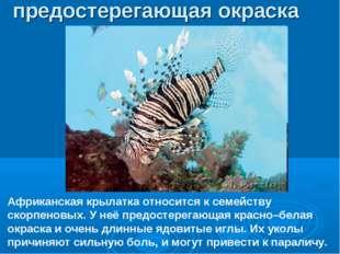 Африканская крылатка относится к семейству скорпеновых. У неё предостерегающа