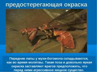 Передние лапы у мухи-богомола складываются, как во время молитвы. Такая поза