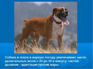 Собака в покое в жаркую погоду увеличивает число дыхательных актов с 20 до 30