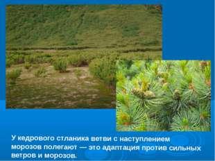У кедрового стланика ветви с наступлением морозов полегают — это адаптация пр