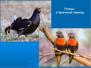 Птицы в брачный период