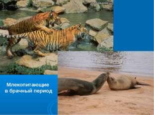 Млекопитающие в брачный период
