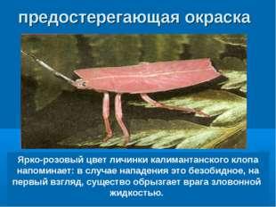 Ярко-розовый цвет личинки калимантанского клопа напоминает: в случае нападени