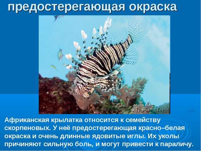 Африканская крылатка относится к семейству скорпеновых. У неё предостерегающа...