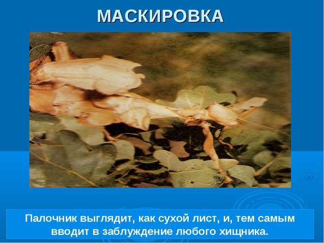 Палочник выглядит, как сухой лист, и, тем самым вводит в заблуждение любого х...