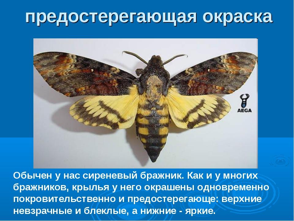 Обычен у нас сиреневый бражник. Как и у многих бражников, крылья у него окраш...