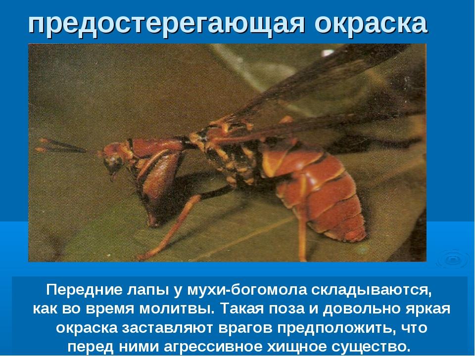 Передние лапы у мухи-богомола складываются, как во время молитвы. Такая поза...