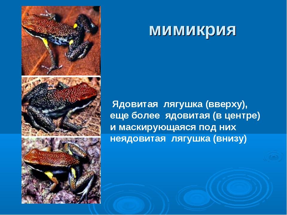 Ядовитая лягушка (вверху), еще более ядовитая (в центре) и маскирующаяся под...