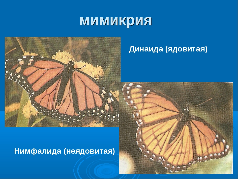 мимикрия Динаида (ядовитая) Нимфалида (неядовитая)