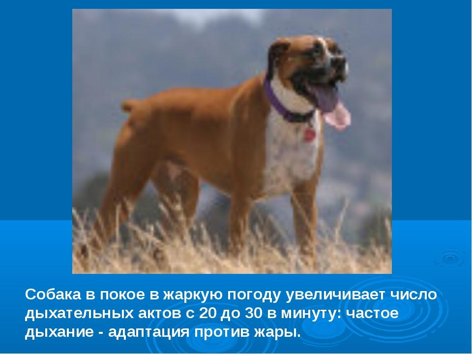 Собака в покое в жаркую погоду увеличивает число дыхательных актов с 20 до 30...
