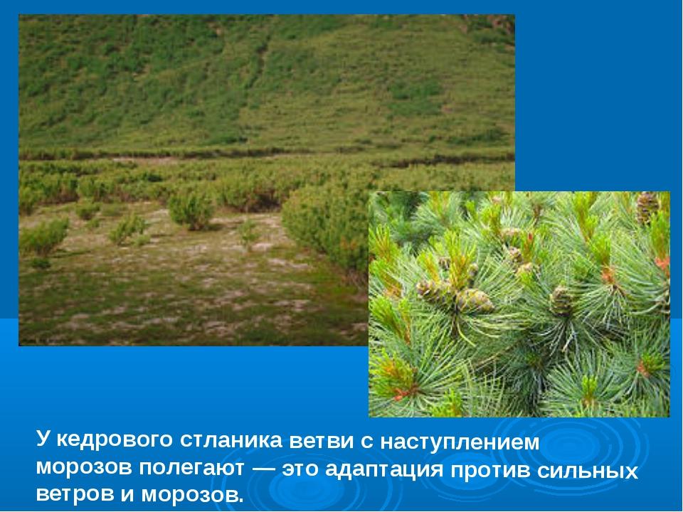 У кедрового стланика ветви с наступлением морозов полегают — это адаптация пр...