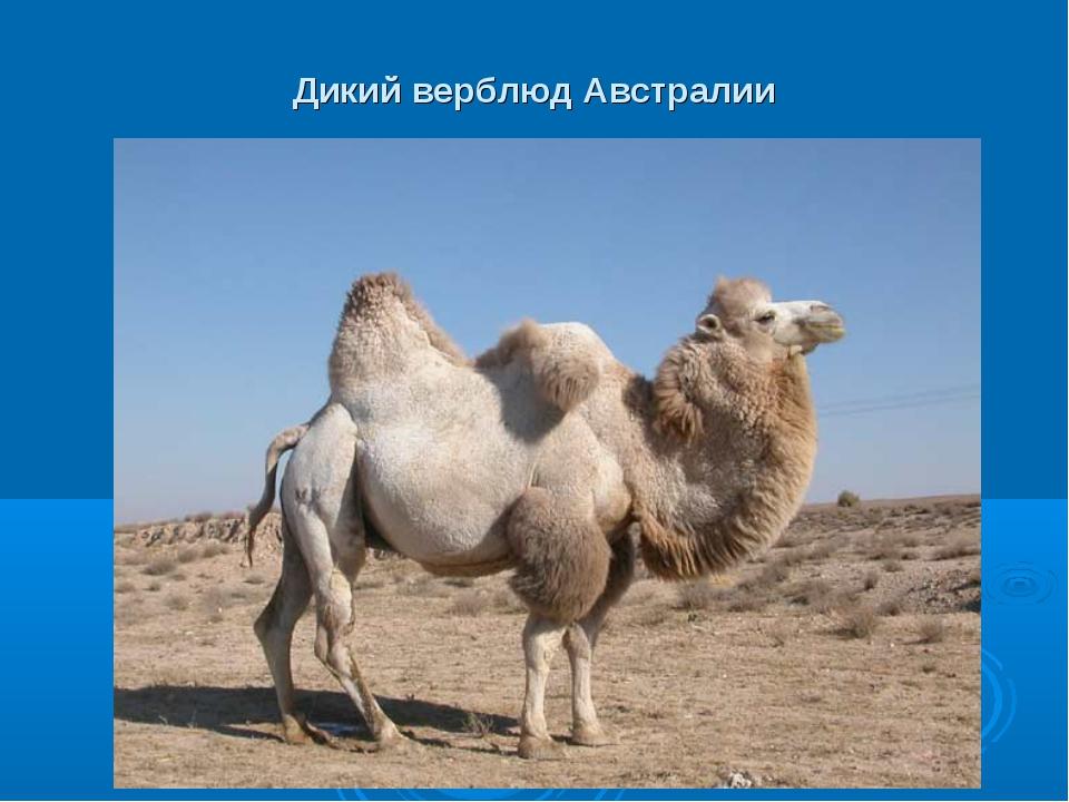 Дикий верблюд Австралии