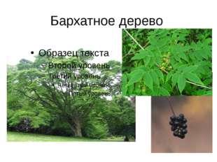 Бархатное дерево