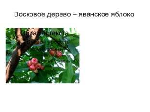 Восковое дерево – яванское яблоко.