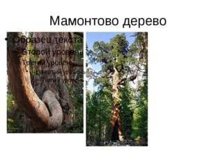 Мамонтово дерево