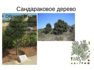 Сандараковое дерево